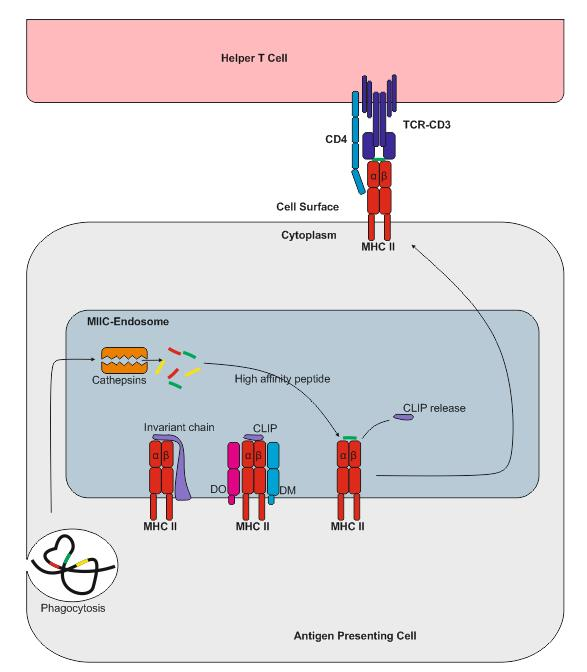 Antigen processing and presentation - MHCII - Figure 2 (1)