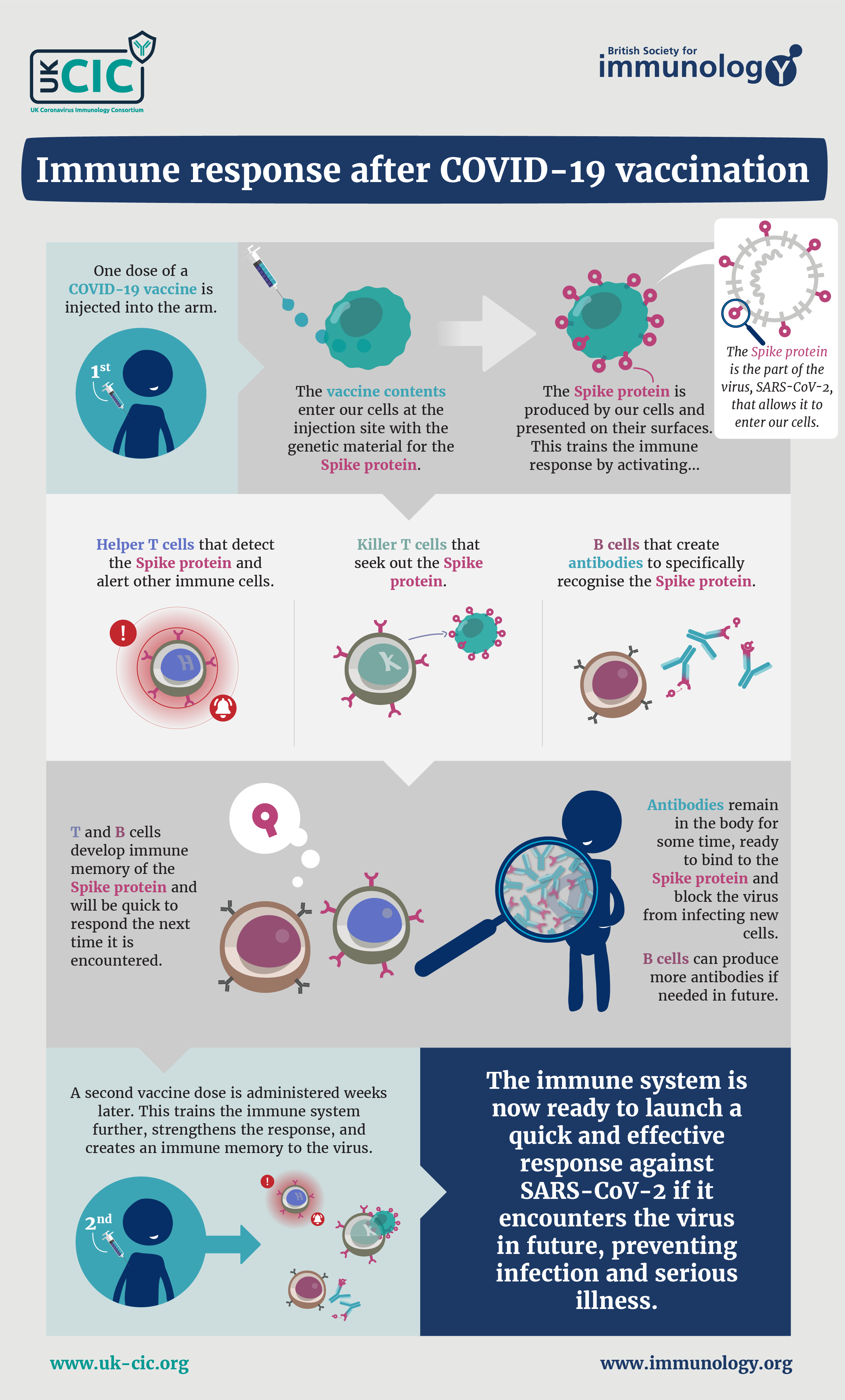An infographic describing how the COVID-19 vaccines train the T and B cells of our immune system to recognise SARS-CoV-2
