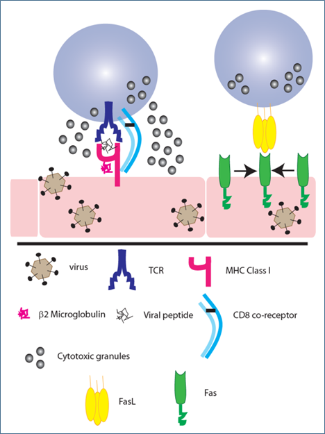CD8+ T Cells - Figure 1