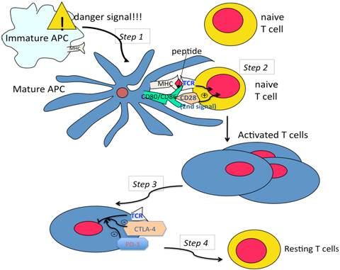 Co-receptors - function - Figure 1