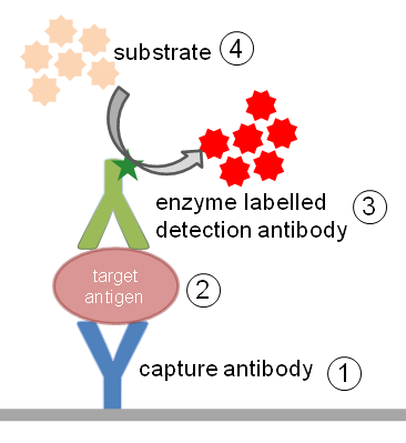 Enzyme-linked immunosorbent assay (ELISA) - Figure 1