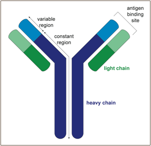 Generation of B-cell - antibody diversity - Figure 1
