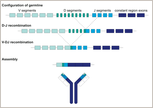 Generation of B-cell - antibody diversity - Figure 2