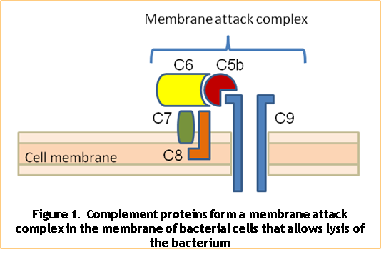 Immune responses to bacteria - Figure 1
