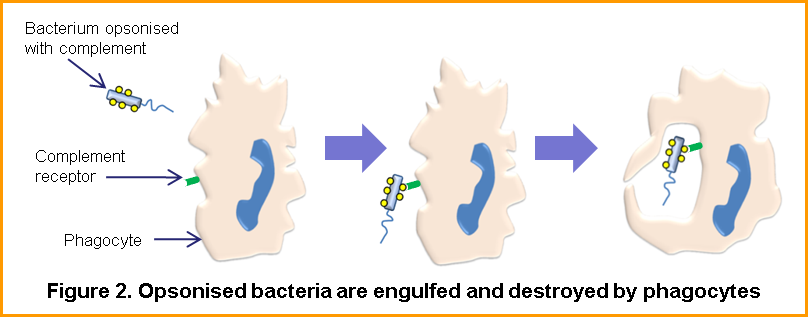 Immune responses to bacteria - Figure 2