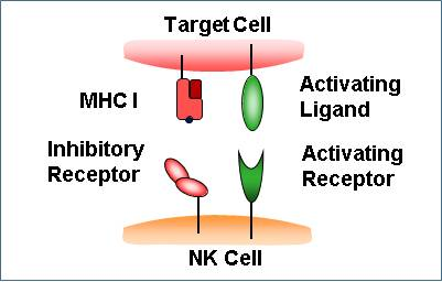 Natural killer cells - figure 1