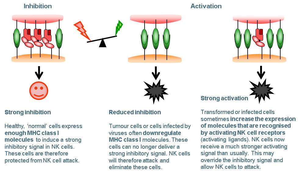 Natural killer cells - figure 2