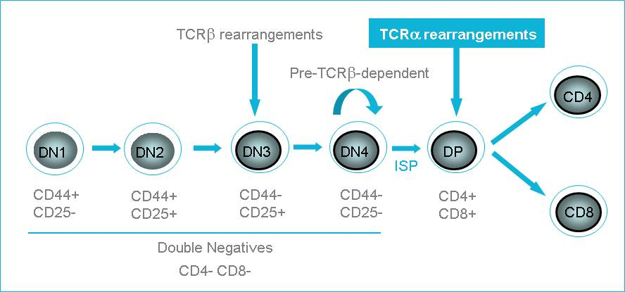 T-cell development in thymus - figure 1