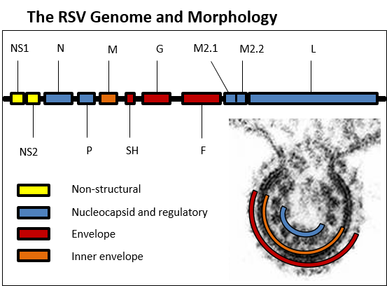 The RSV Genome and Morphology