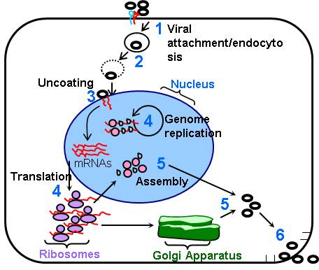 Virus replication - figure 1