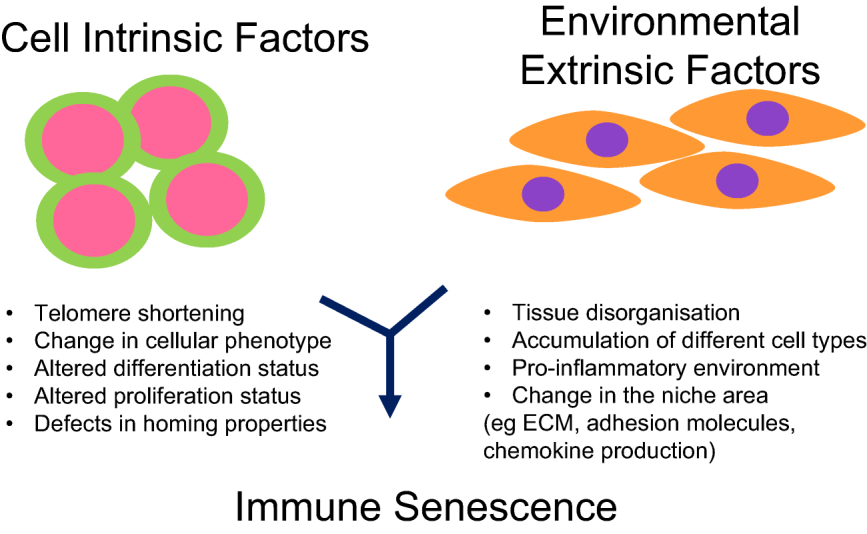 Intrinsic & extrinsic factors that contribute towards immune senescence. From Masters et al. doi: 10.1111/cei.12851