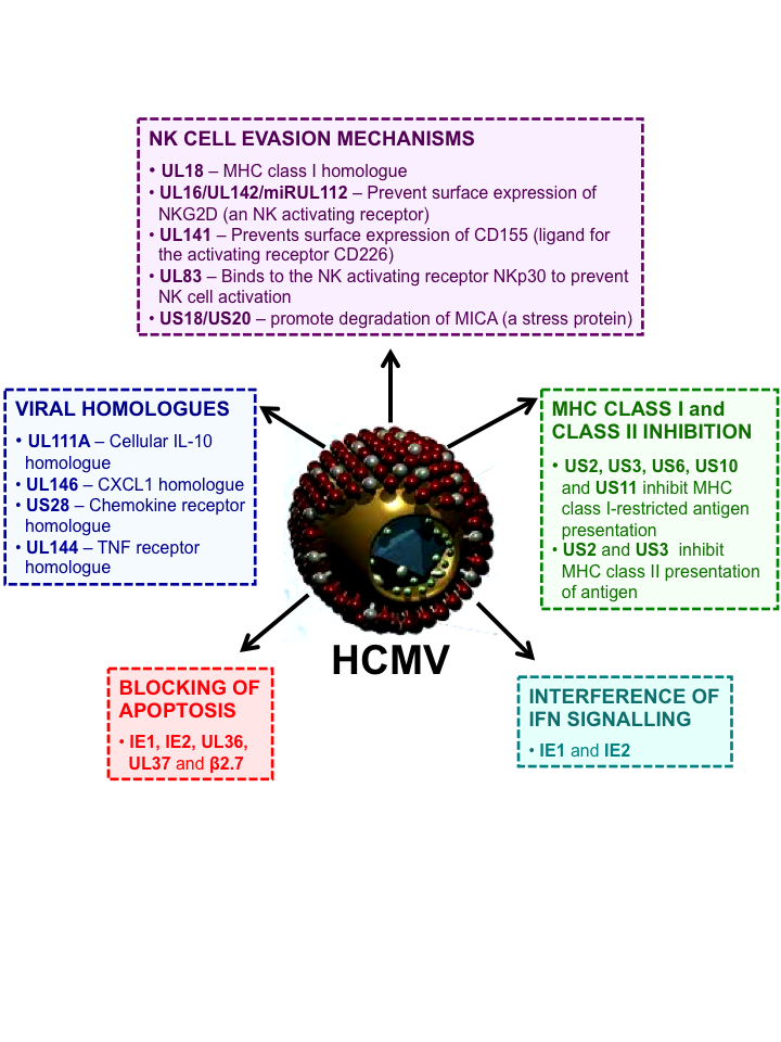 immune evasion mechanism HCMV - Bitesized Immunology