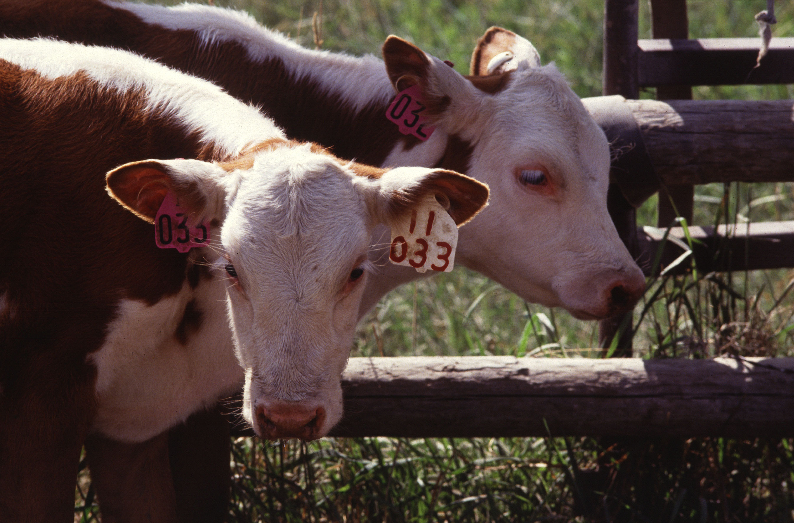 Cattle twins