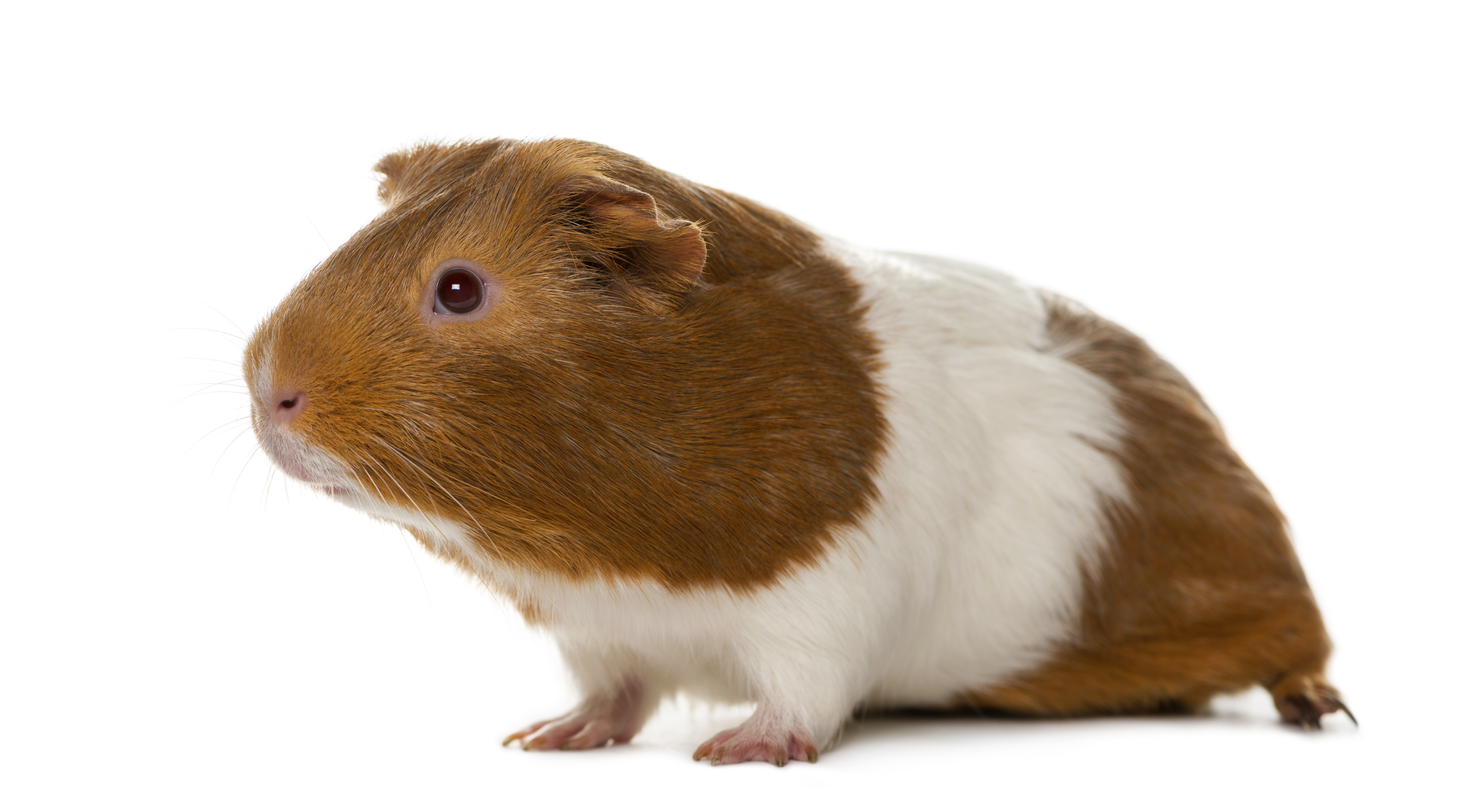 guinea pig 1942 british society for immunology